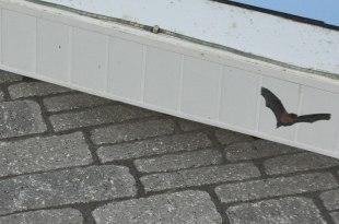 Soprano pipistrelle roost